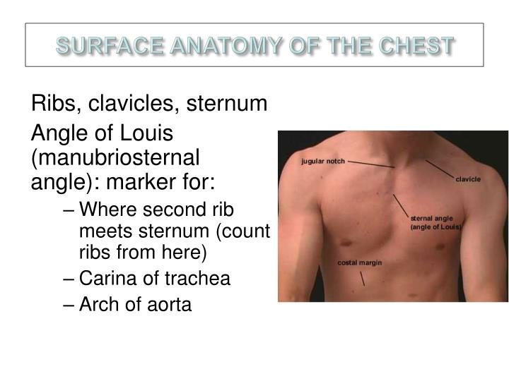 Surface anatomy of the chest