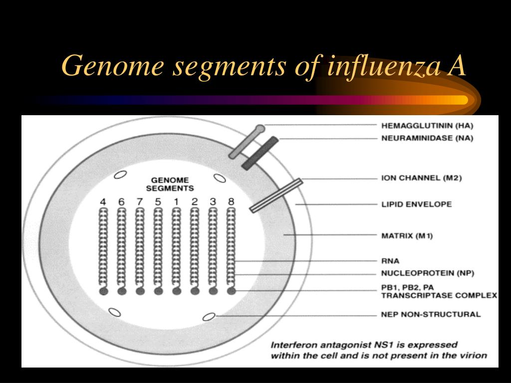 Genome segments of influenza A
