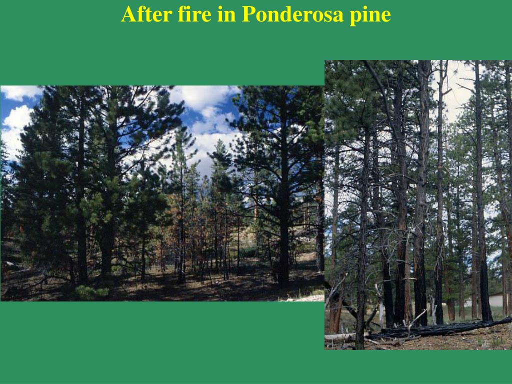 After fire in Ponderosa pine