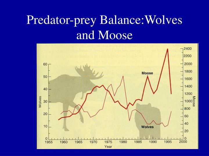 Predator prey balance wolves and moose