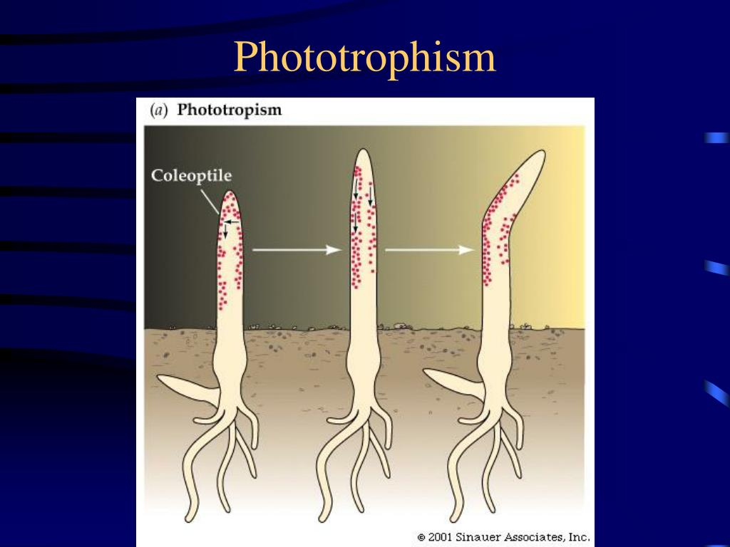 Phototrophism