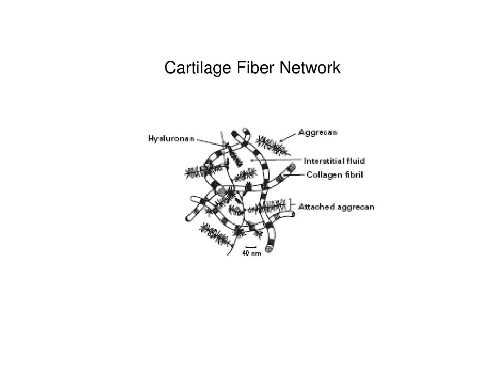 Cartilage Fiber Network