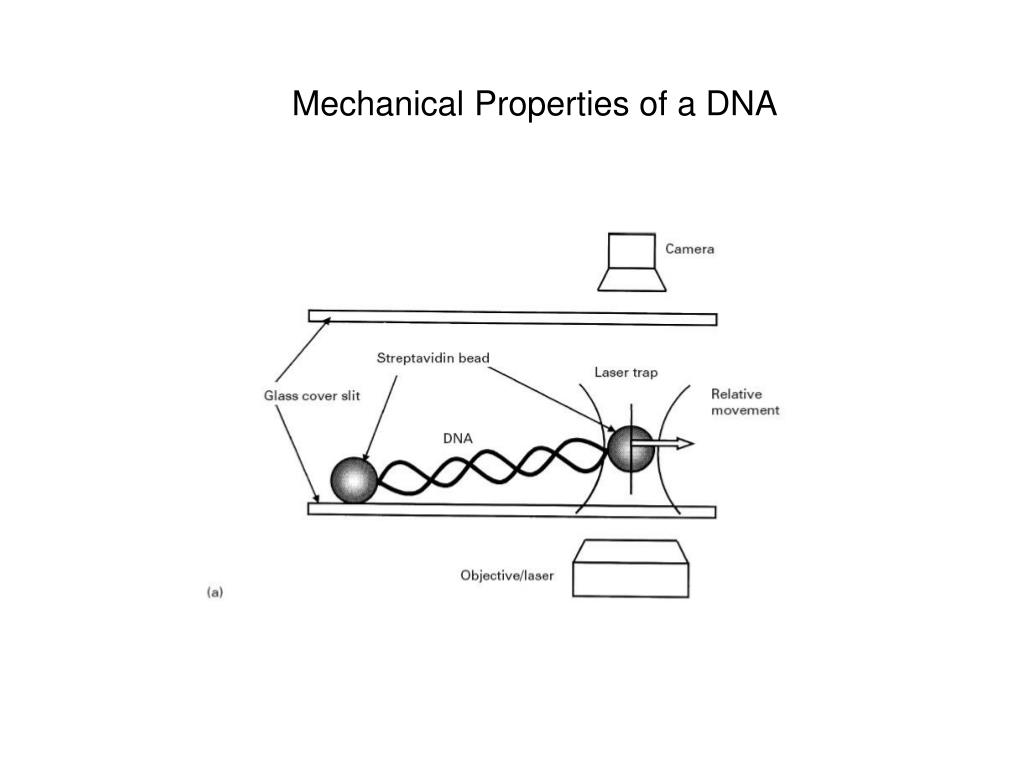 Mechanical Properties of a DNA