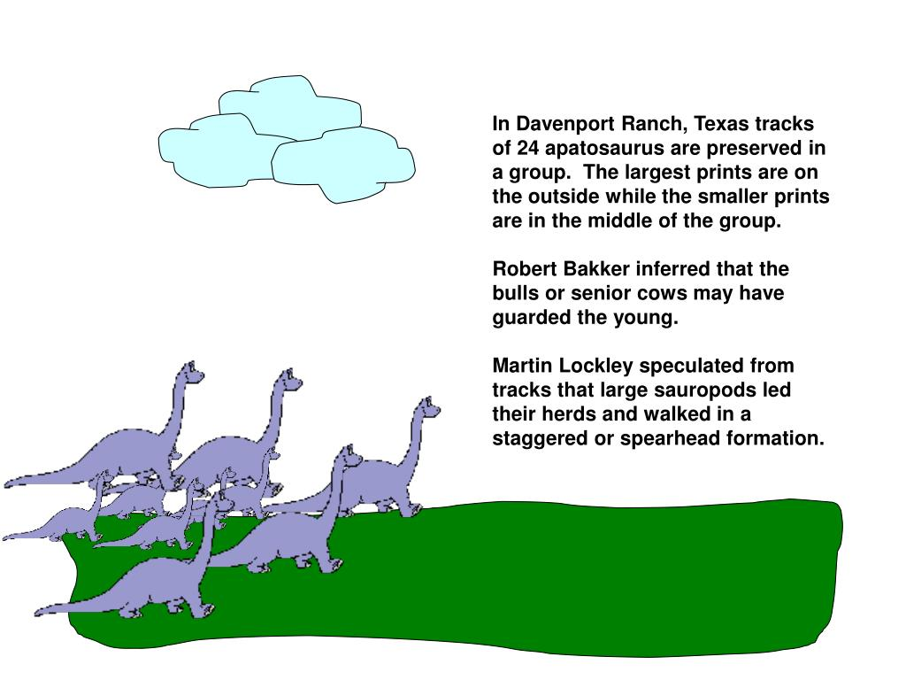 In Davenport Ranch, Texas tracks of 24 apatosaurus are preserved in a group.  The largest prints are on the outside while the smaller prints are in the middle of the group.