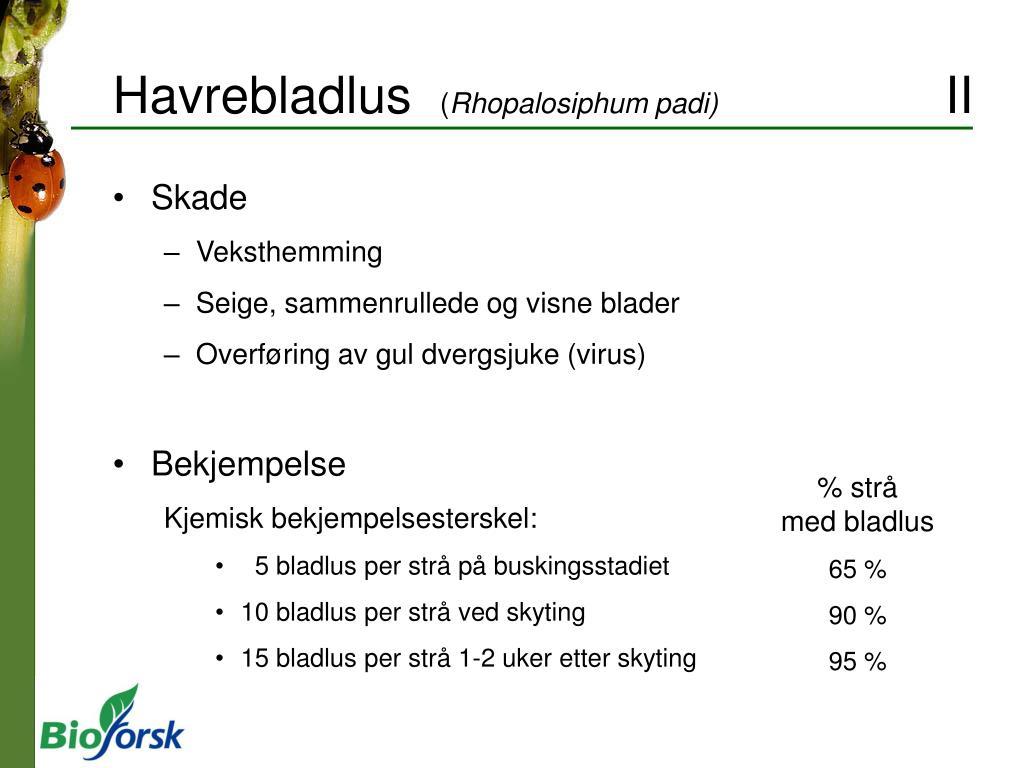 Havrebladlus