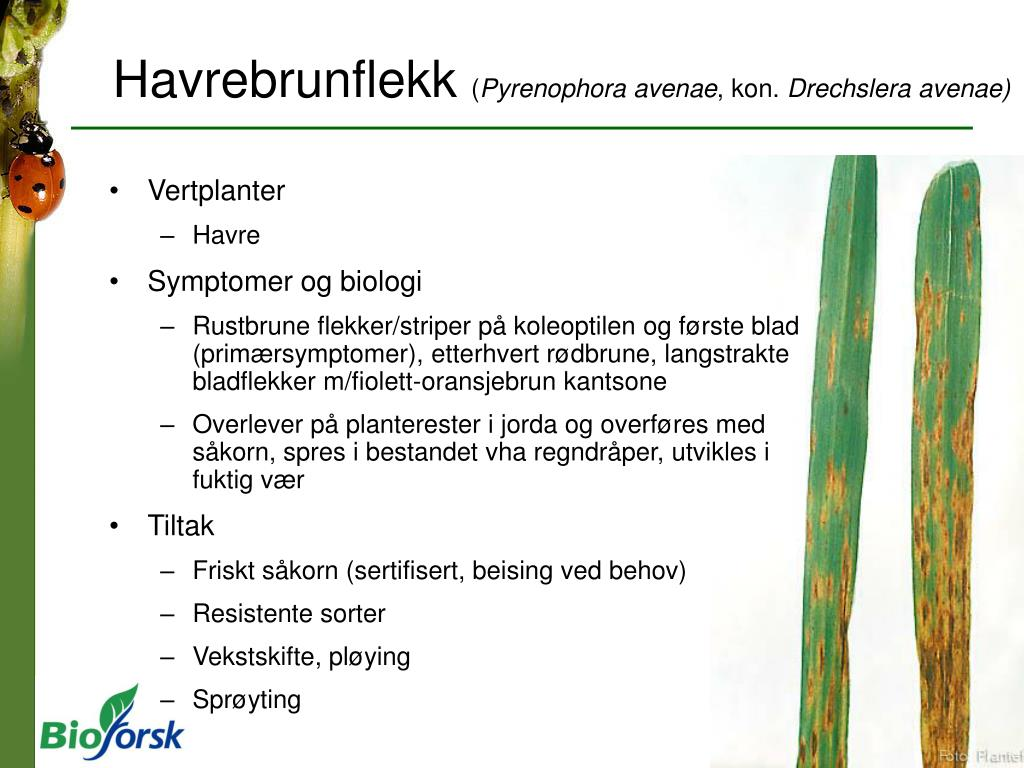 Havrebrunflekk