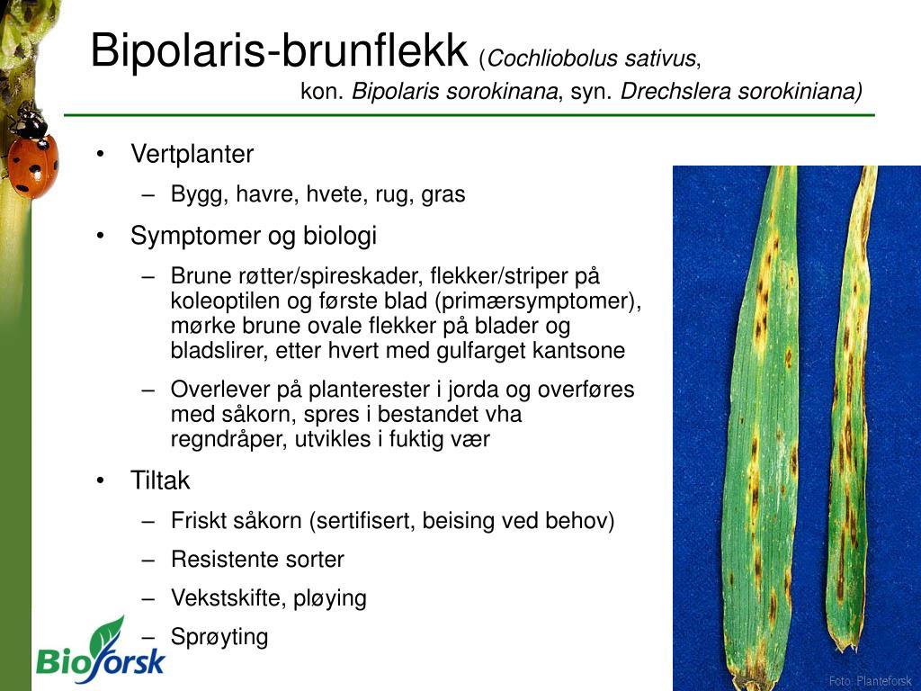 Bipolaris-brunflekk