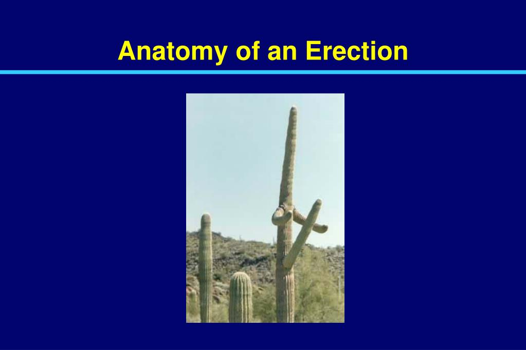 Anatomy of an Erection