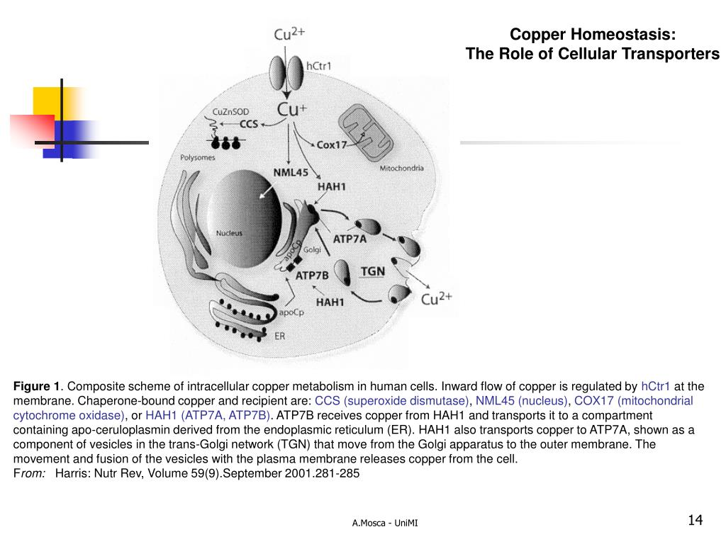 Copper Homeostasis: