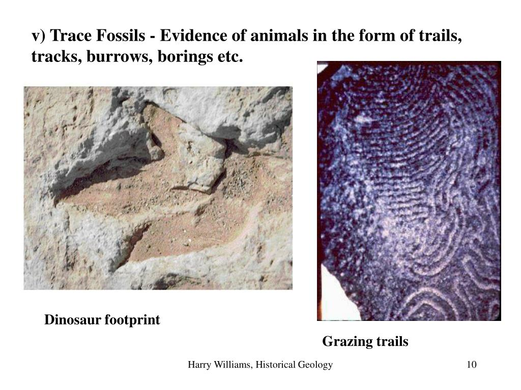 v) Trace Fossils - Evidence of animals in the form of trails, tracks, burrows, borings etc.