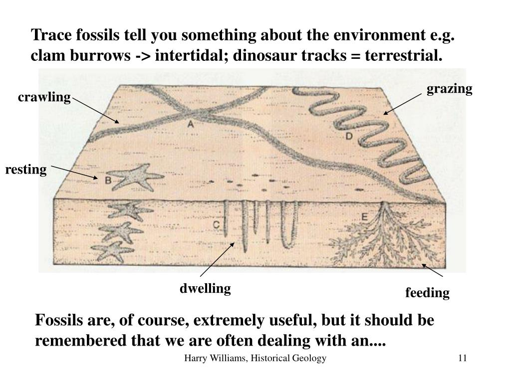 Trace fossils tell you something about the environment e.g. clam burrows -> intertidal; dinosaur tracks = terrestrial.