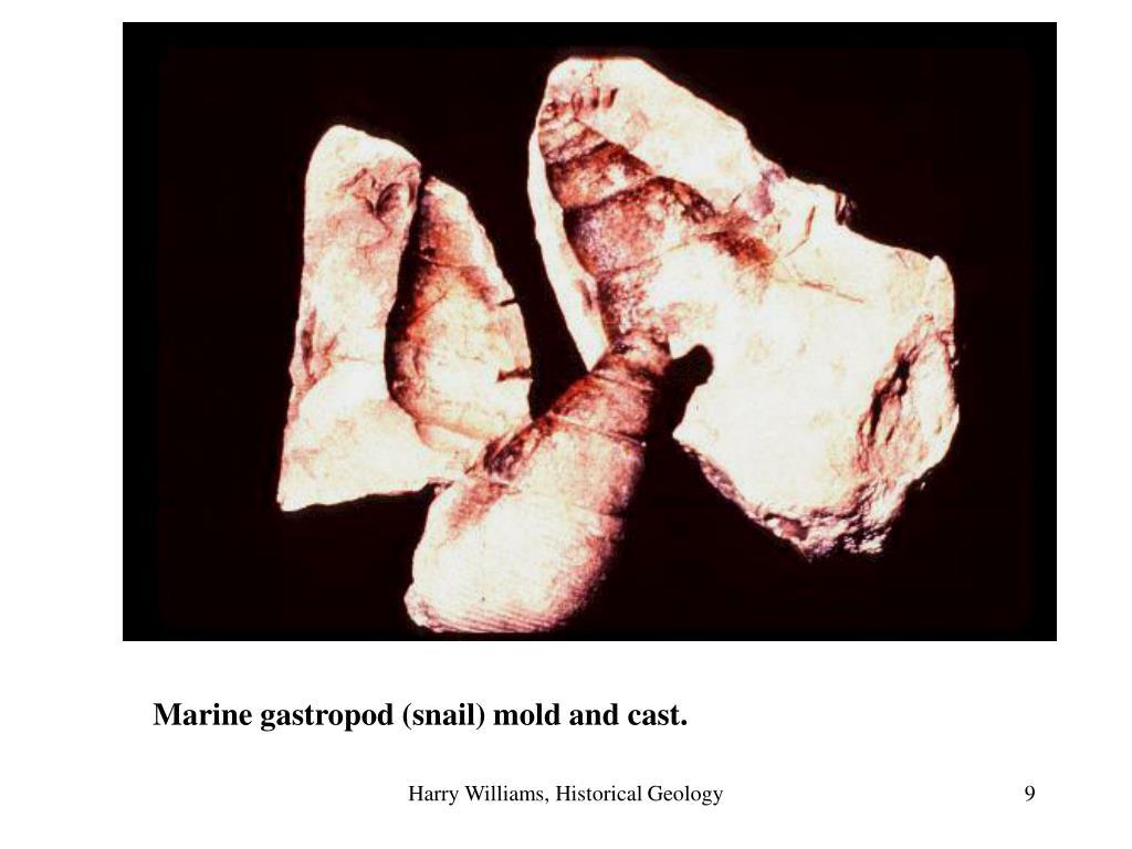 Marine gastropod (snail) mold and cast.