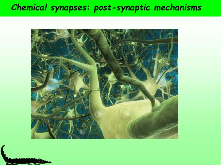 Chemical synapses post synaptic mechanisms