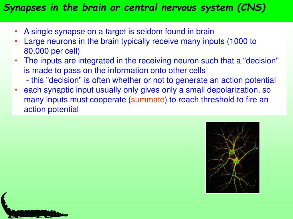 Synapses in the brain or central nervous system (CNS)