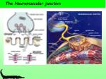 the neuromuscular junction10