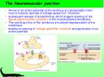 the neuromuscular junction11