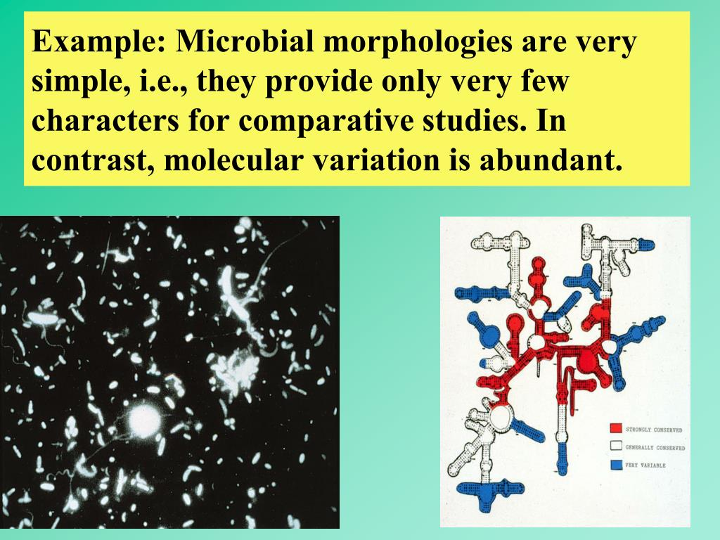 Example: Microbial morphologies are very simple, i.e., they provide only very few characters for comparative studies. In contrast, molecular variation is abundant.