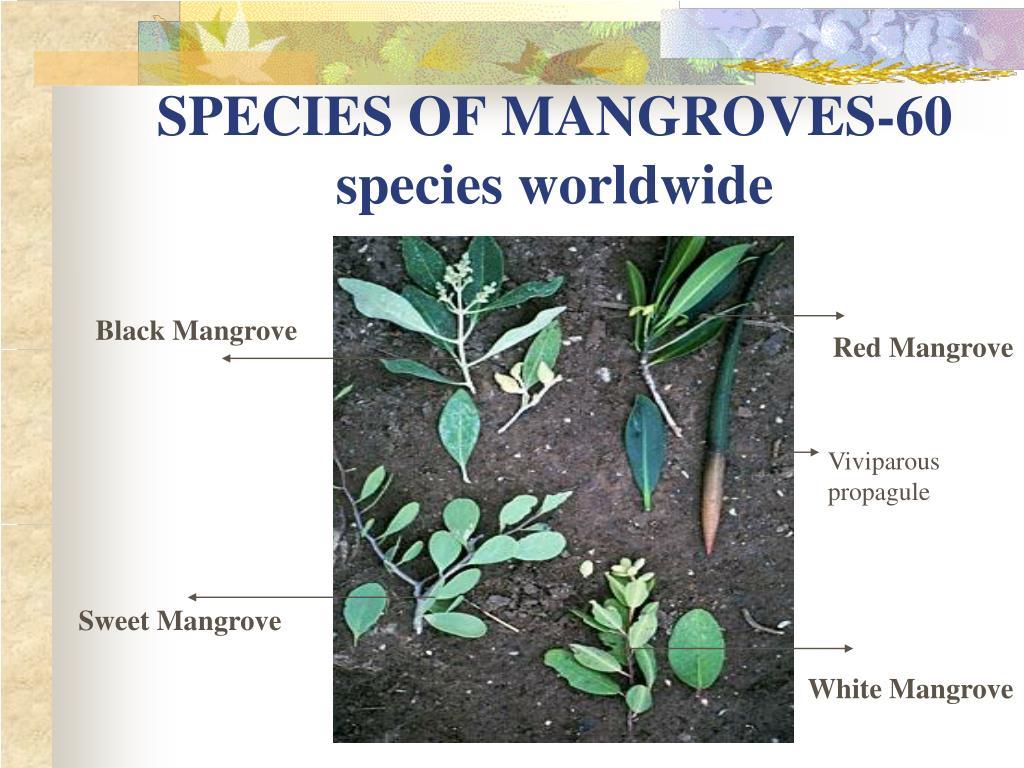 SPECIES OF MANGROVES-60 species worldwide