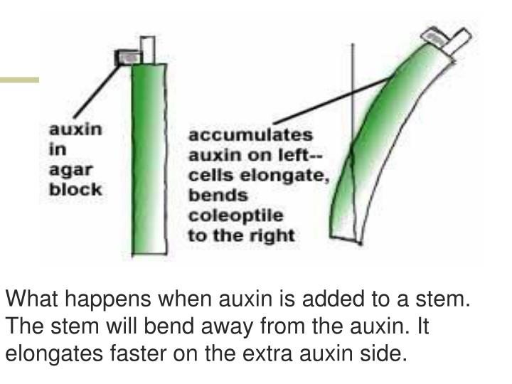 What happens when auxin is added to a stem. The stem will bend away from the auxin. It elongates faster on the extra auxin side.