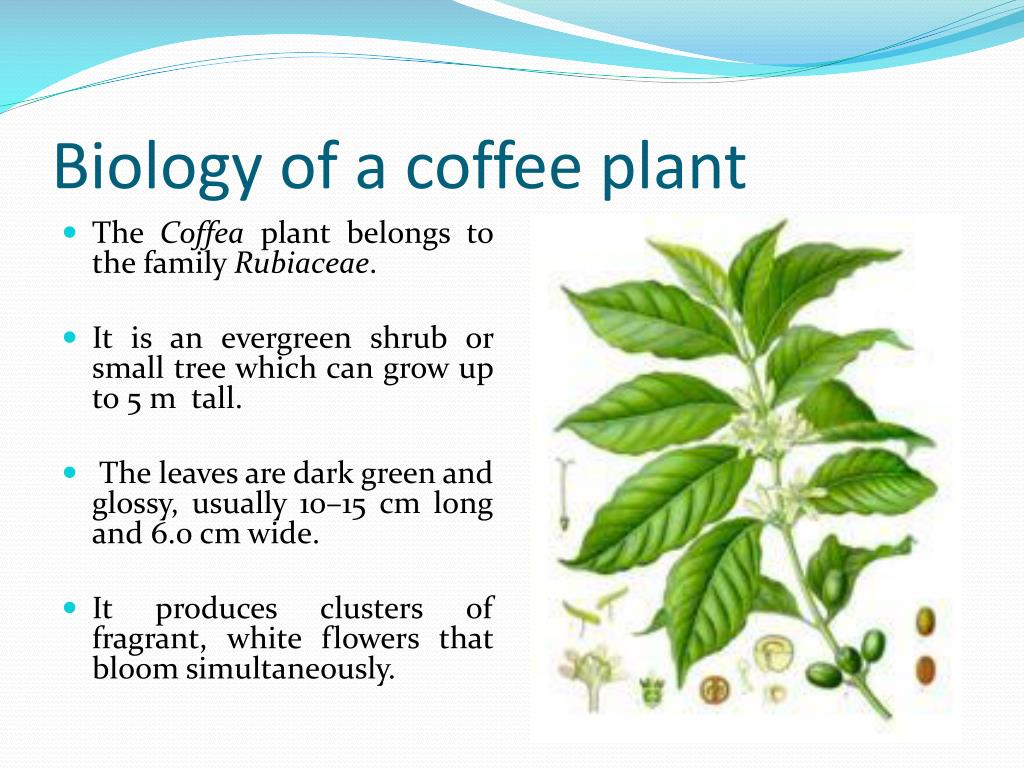 Biology of a coffee plant