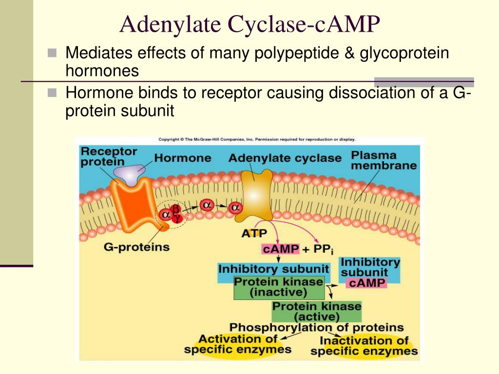 Adenylate Cyclase-cAMP