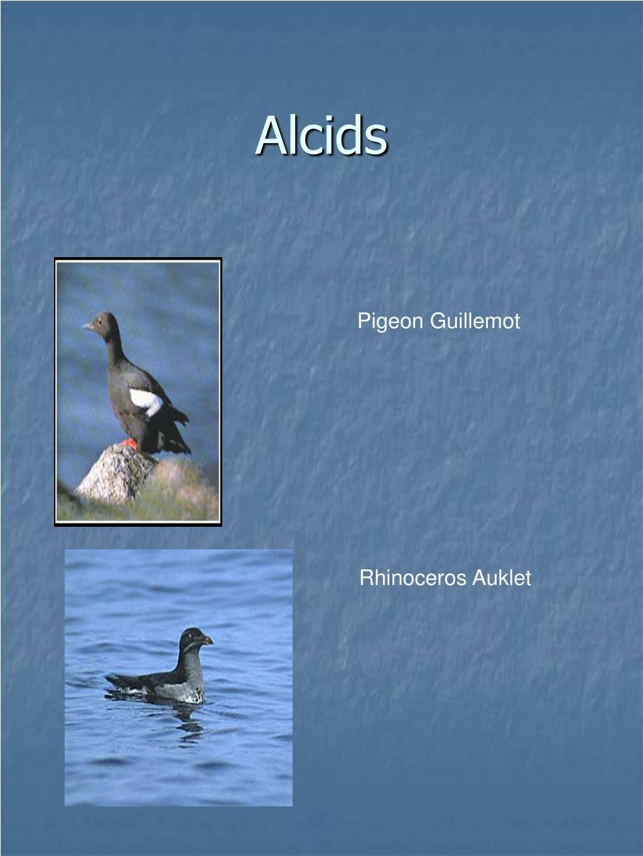 Alcids