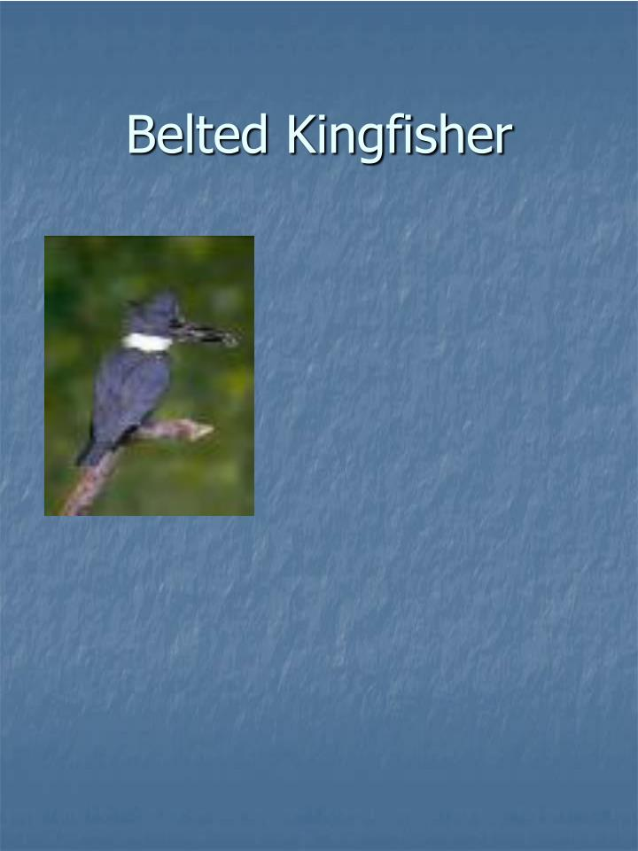 Belted kingfisher l.jpg