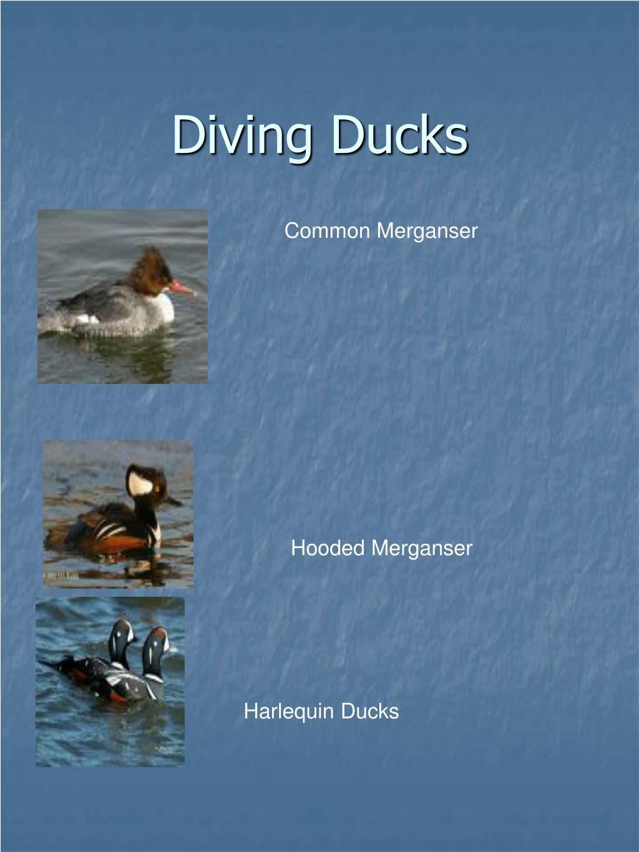 Diving Ducks