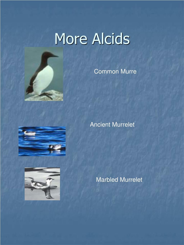 More Alcids