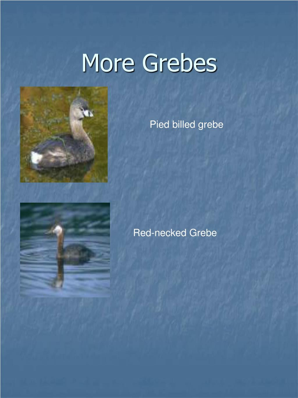 More Grebes