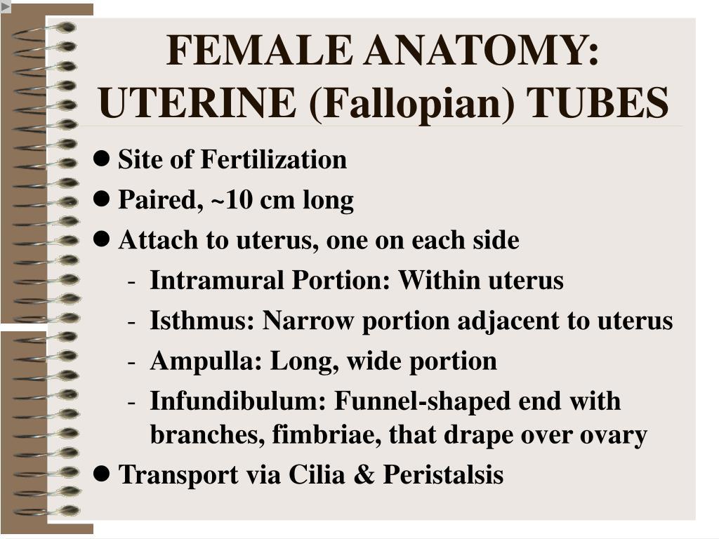 FEMALE ANATOMY: UTERINE (Fallopian) TUBES