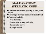 male anatomy spermatic cord