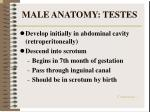 male anatomy testes9
