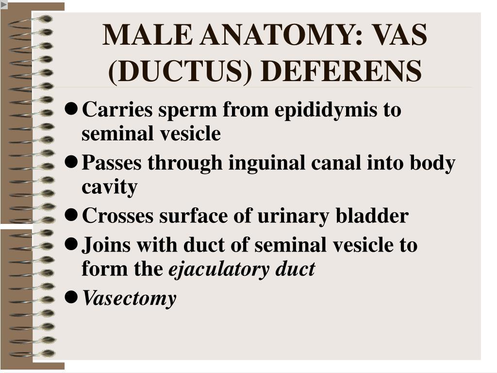 MALE ANATOMY: VAS (DUCTUS) DEFERENS