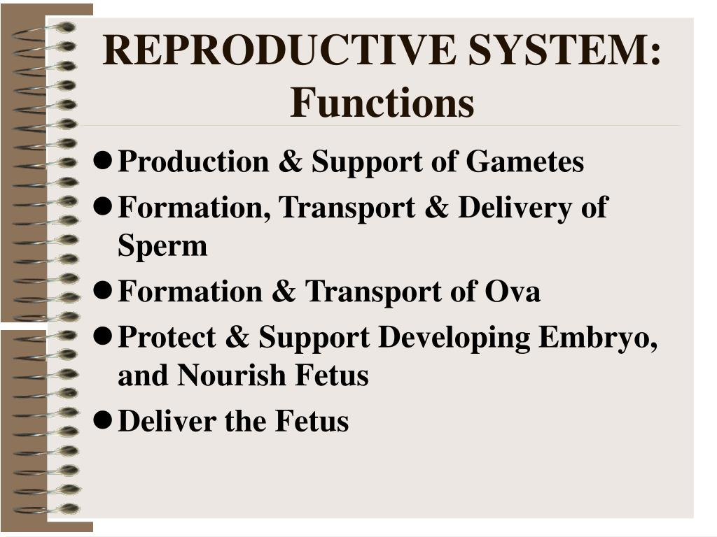 REPRODUCTIVE SYSTEM:  Functions