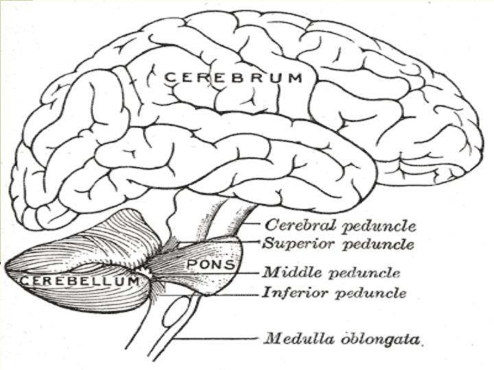 Cerebellum Anatomy