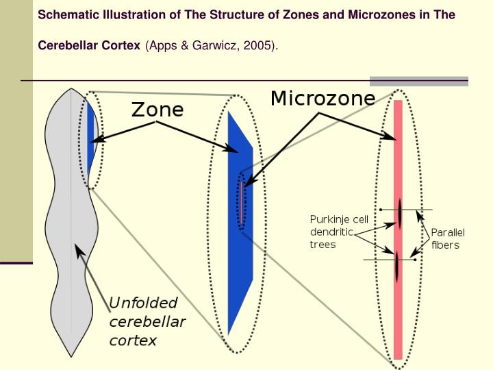 Schematic Illustration of The Structure of Zones and Microzones in The Cerebellar Cortex