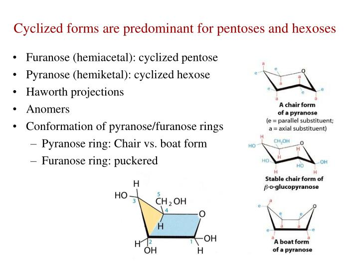 Cyclized forms are predominant for pentoses and hexoses