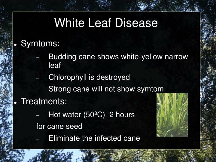 White Leaf Disease