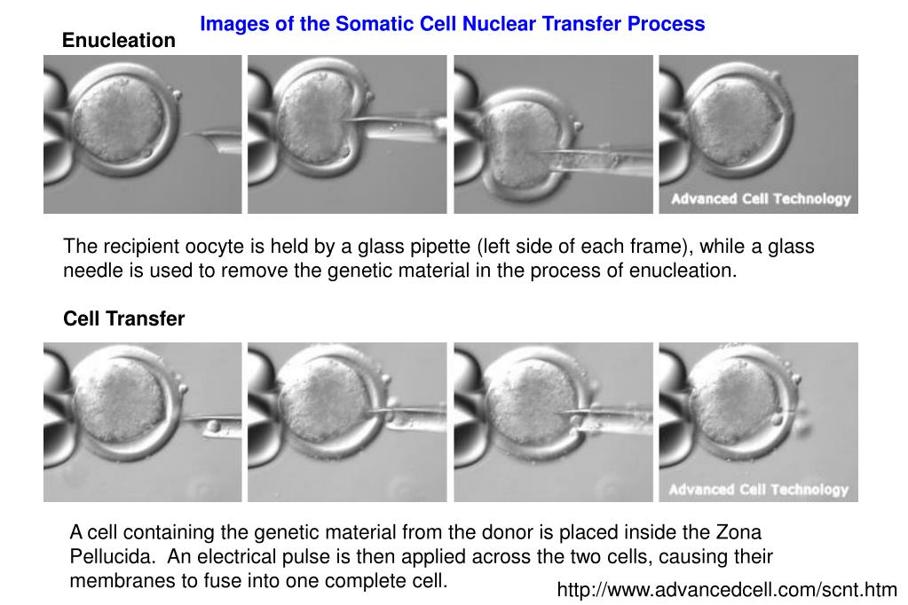 Images of the Somatic Cell Nuclear Transfer Process