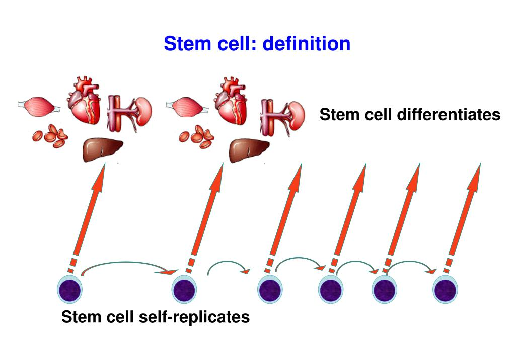 Stem cell: definition