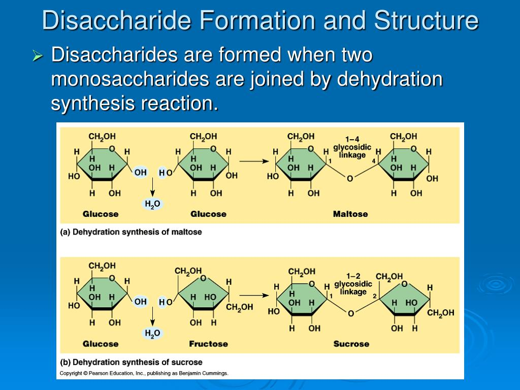 Disaccharide Formation and Structure