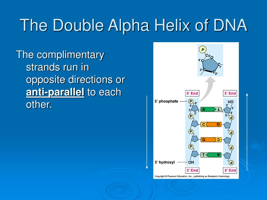 The Double Alpha Helix of DNA