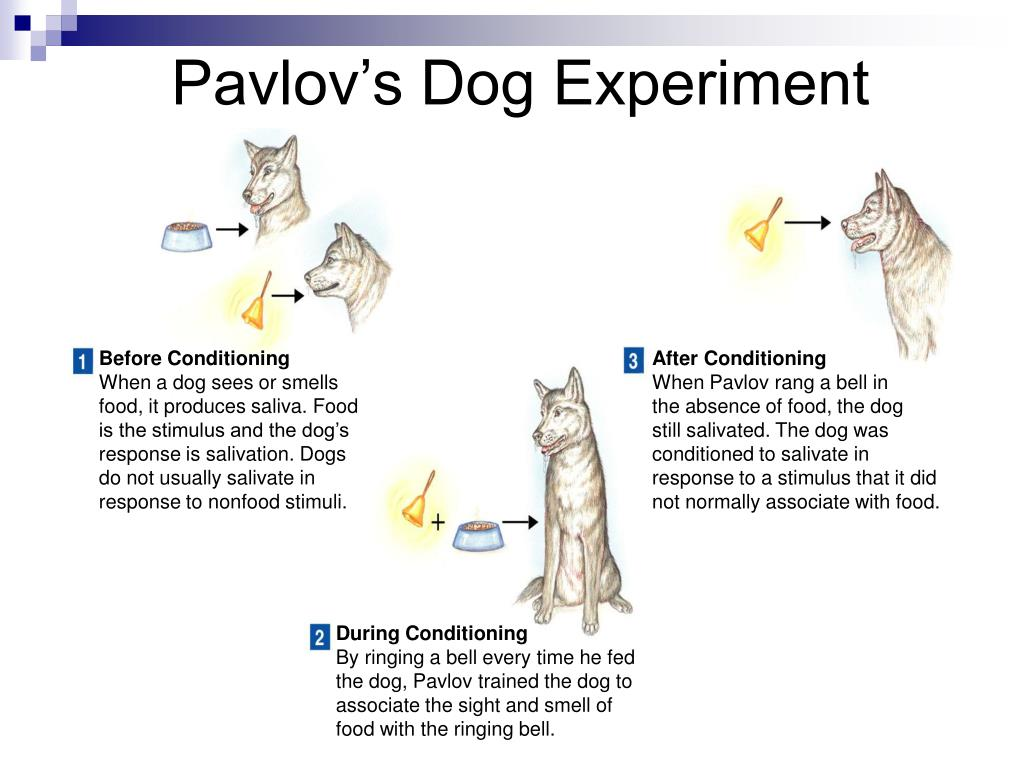 In Pavlov S Experiments With Dogs Salivation Was The