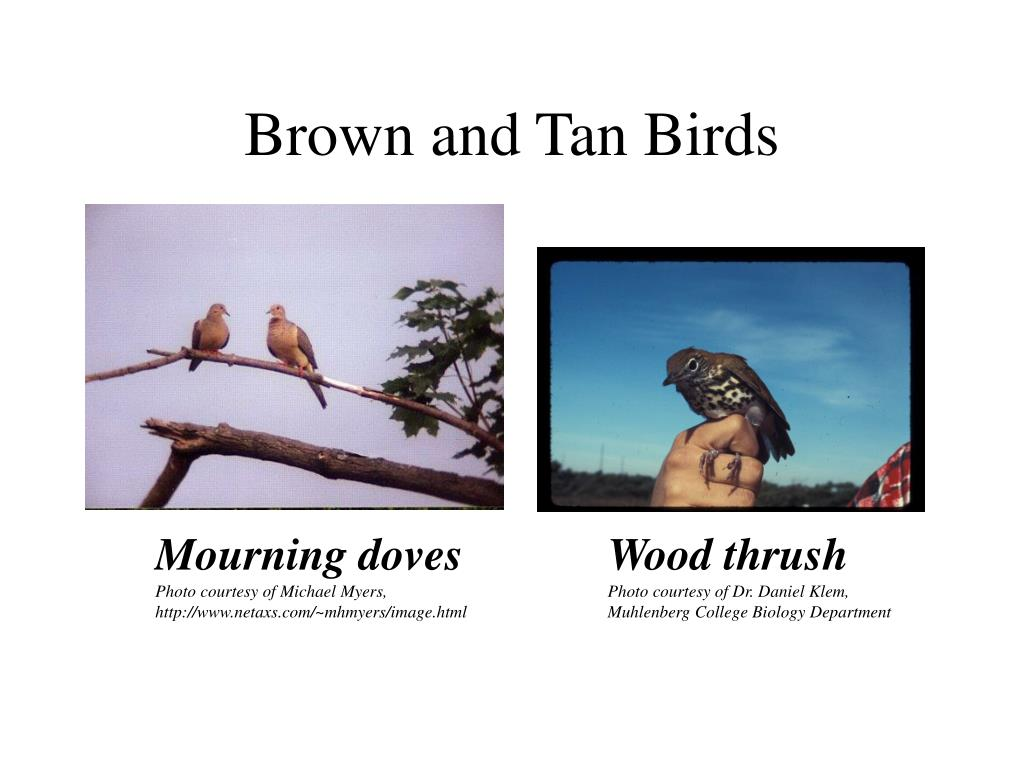 Brown and Tan Birds