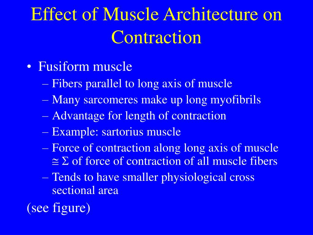 Effect of Muscle Architecture on Contraction
