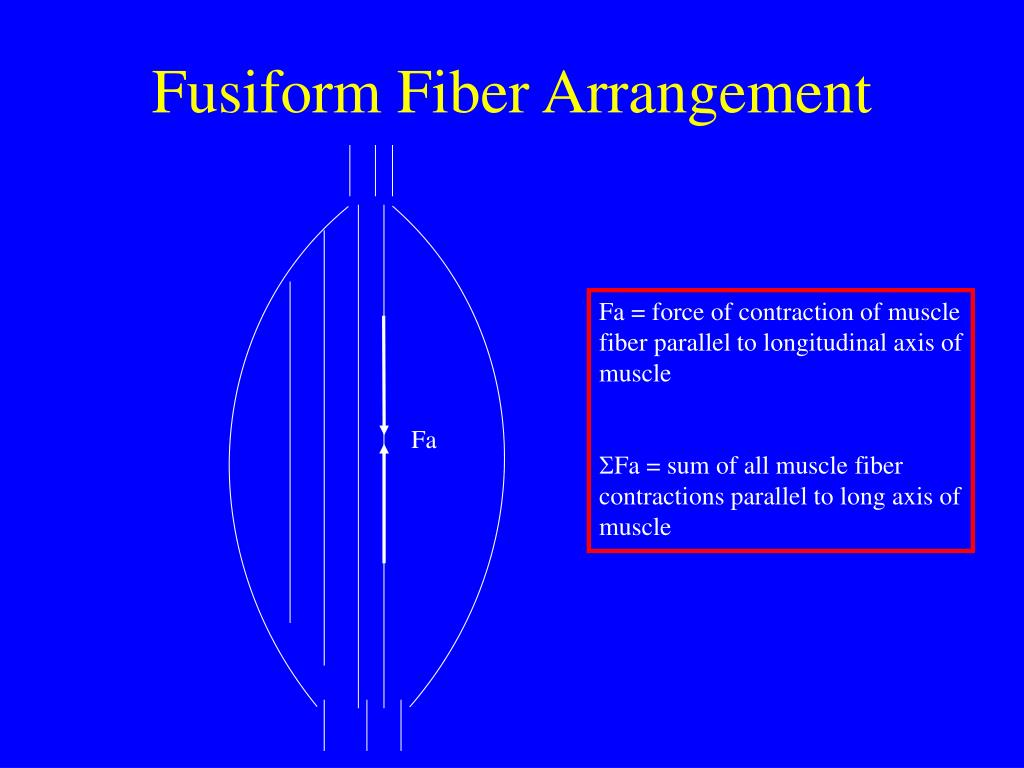 Fusiform Fiber Arrangement