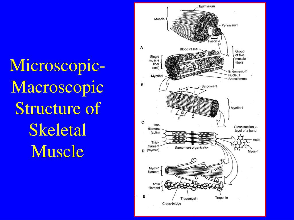 Microscopic-Macroscopic Structure of Skeletal Muscle