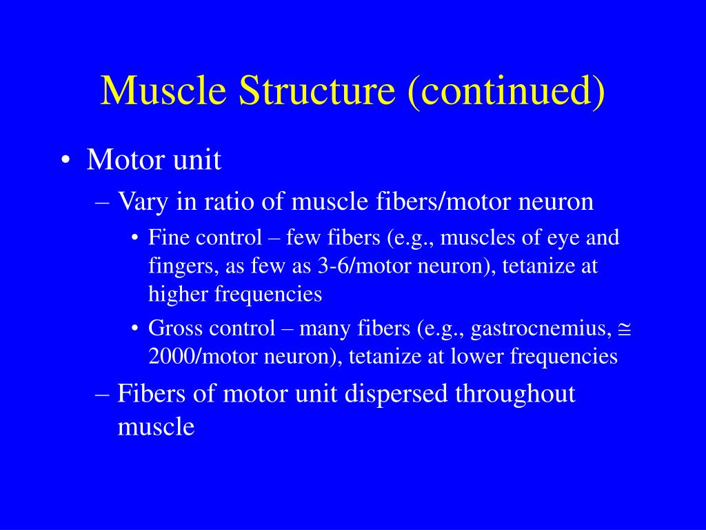 Muscle Structure (continued)