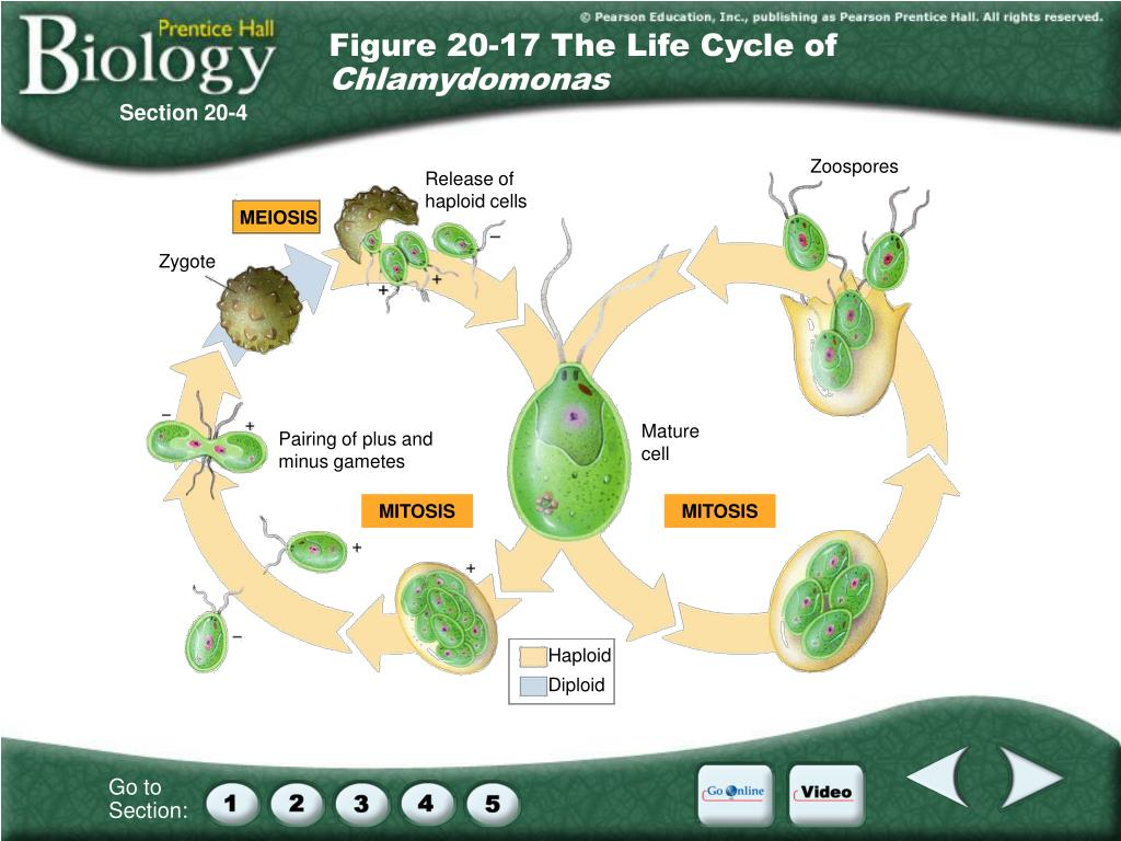 Figure 20-17 The Life Cycle of